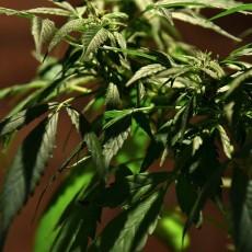marijuana-1452281167